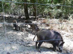 Les cochons...